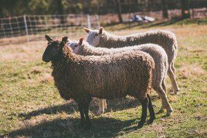 sheep ballet