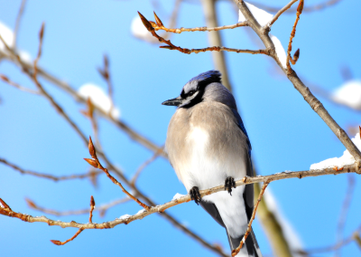Blue-Jay-after-snow-(1)